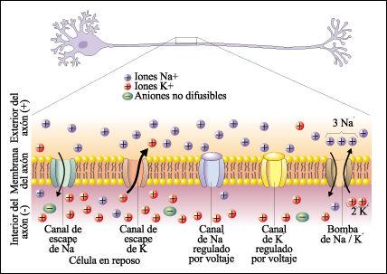 Electricidad en las células. Bombas de sodio y potasio