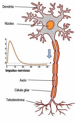Impulso eléctrico circulando por una neurona